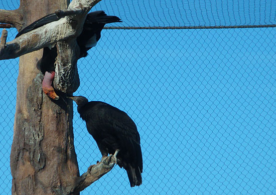 Photo - Condors at the zoo