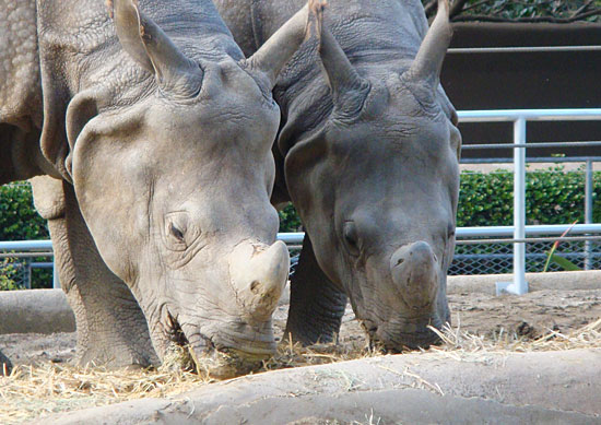 Photo - Rhinos at the zoo