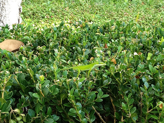 Photo - Green Anole