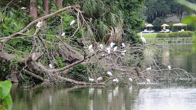 Photo - Egrets