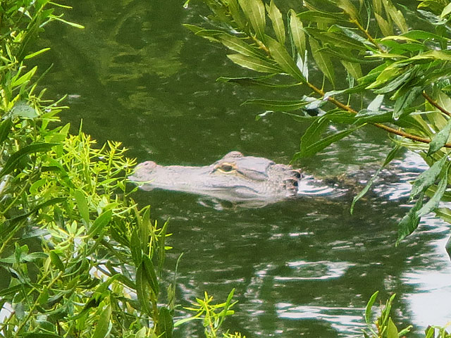 Photo - Alligator head