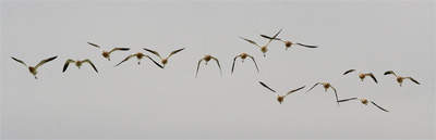 Photo - Flying Avocets