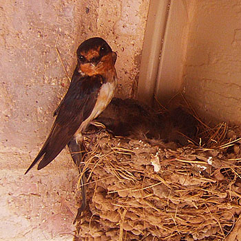 Photo - Barn Swallow Nest