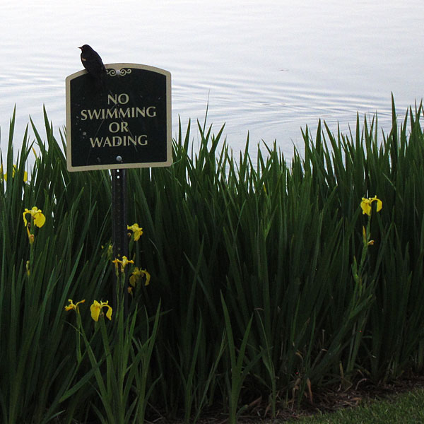 Red-Winged Blackbird atop No Swimming sign