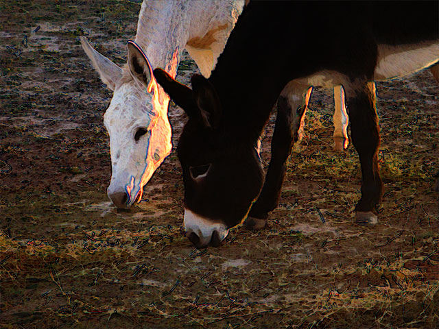 Stylized photo of two burros, one white and one black