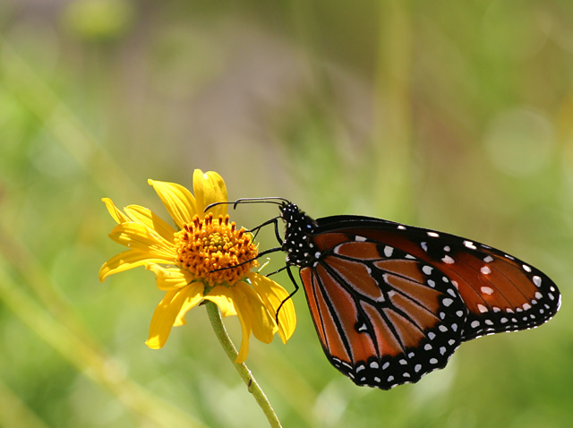 Photo - butterfly on yellow flower