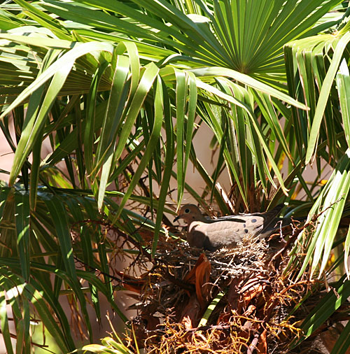 Dove nesting in palm tree