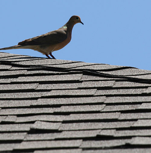 Dove on roof
