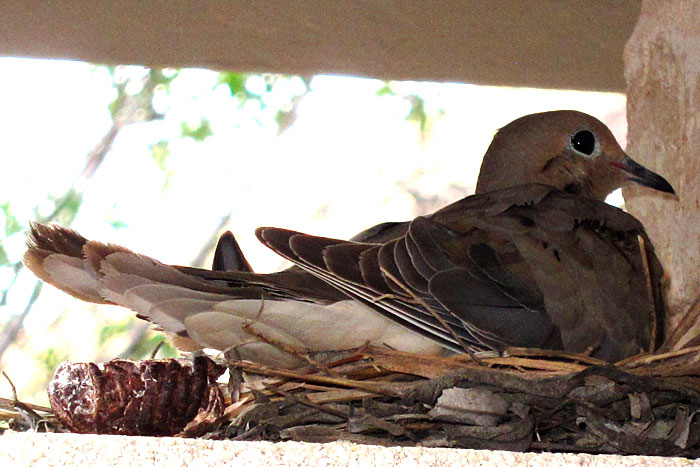 Mexican dove on nest