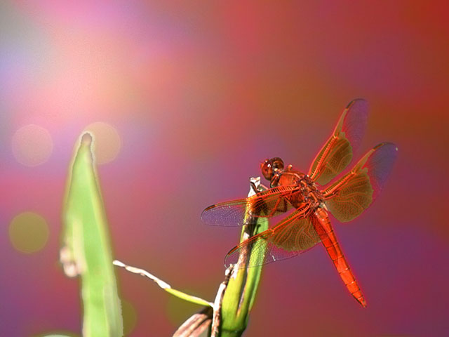 Stylized photo of a Scarlet Darter Dragonfly