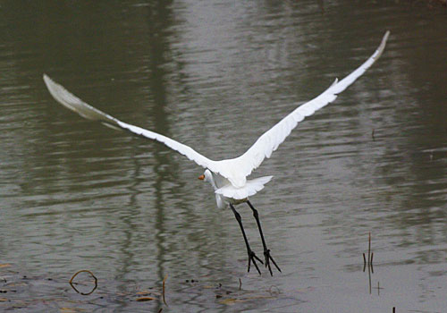 Photo - Egret in flight