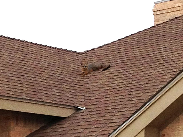 Photo of a fox on our roof