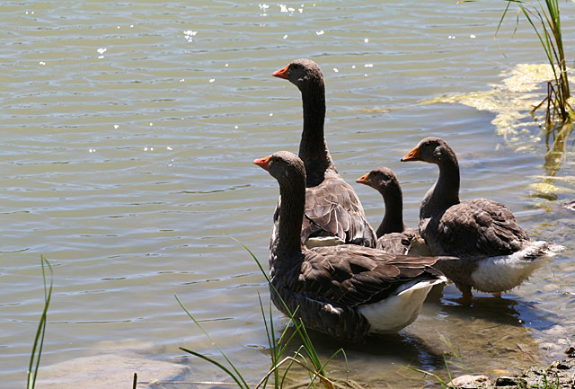 Photo - Four Western Greylag geese