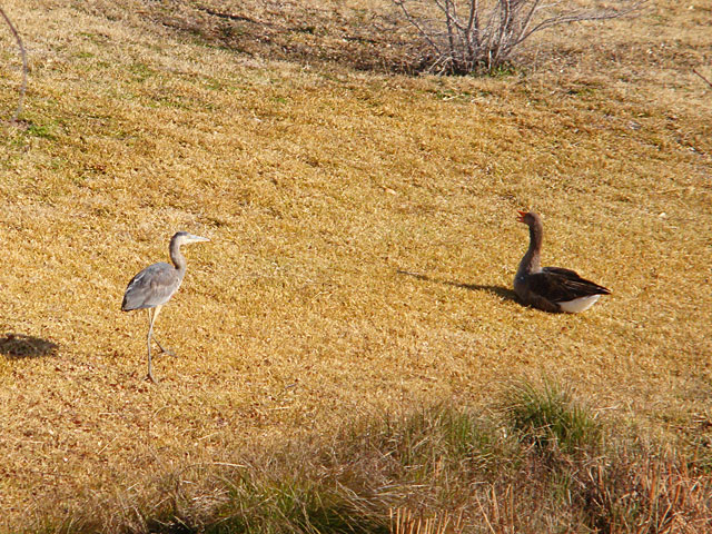 Photo - Great Blue Heron and Goose