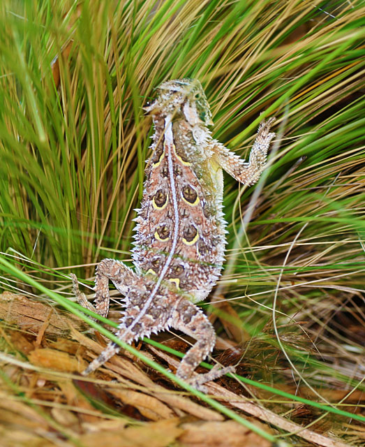Photo - Horned lizard or horny toad
