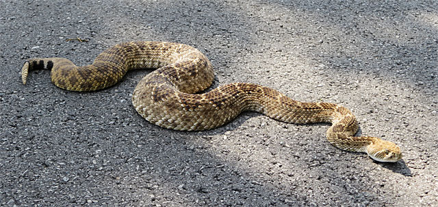 Photo - Big honkin' rattlesnake