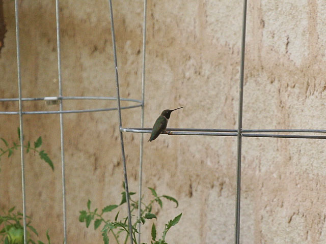 Photo - Hummingbird perched on tomato cage
