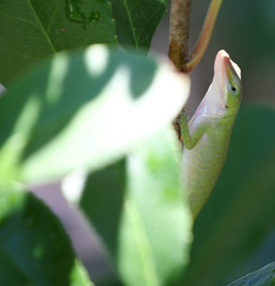 Photo of Green Anole