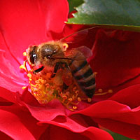 Bee on knockout rose (in Midland)