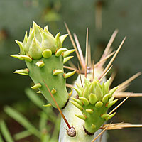 Flower buds on prickly pear