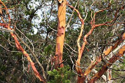 Photo - Texas Madrone