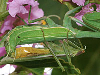 Photo of mating mantids
