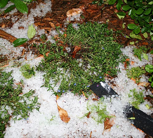 Layer of hailstones surrounding flowers