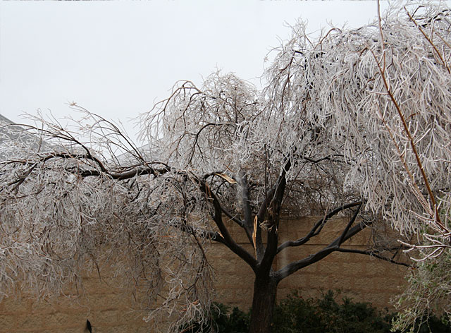 Photo of icy & damaged desert willow