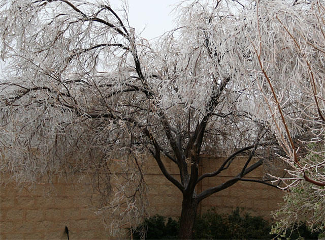 Photo of icy desert willow