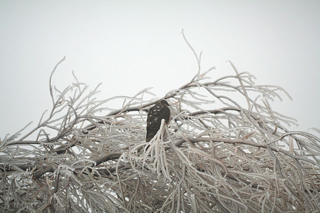 Photo of hawk perched in ice covered tree