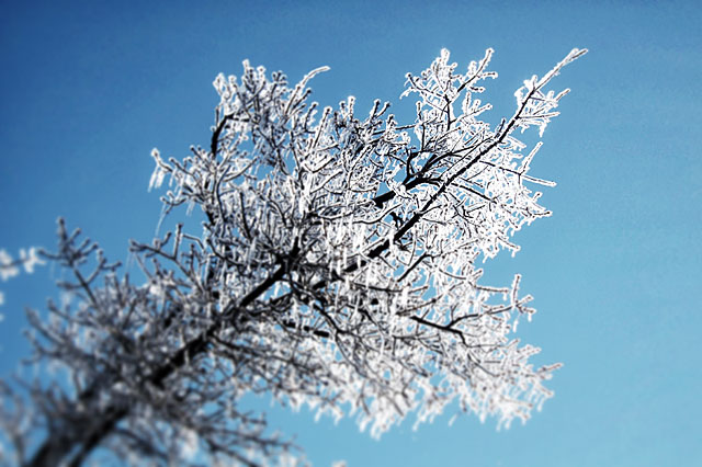 Ice covered live oak branches against a blue sky