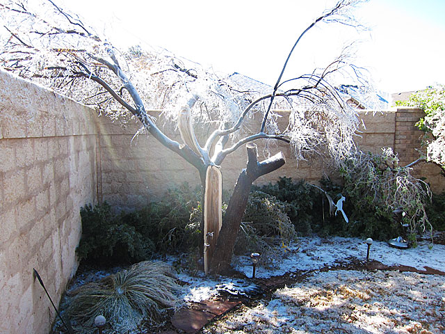 Desert willow, post pruning