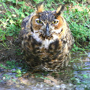 Photo - Great Horned Owl standing in water