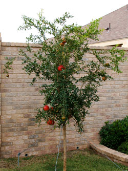 Photo - Pomegranate tree