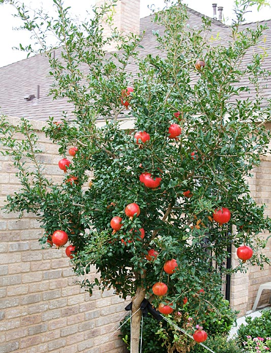 Photo of pomegranate tree heavy with fruit