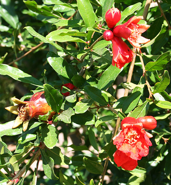 Photo of pomegranate blooms and immature fruit