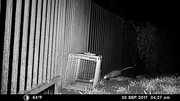 Photo - Possum first appears on camera
