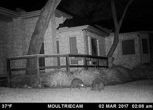 Raccoons: Nature's little felons