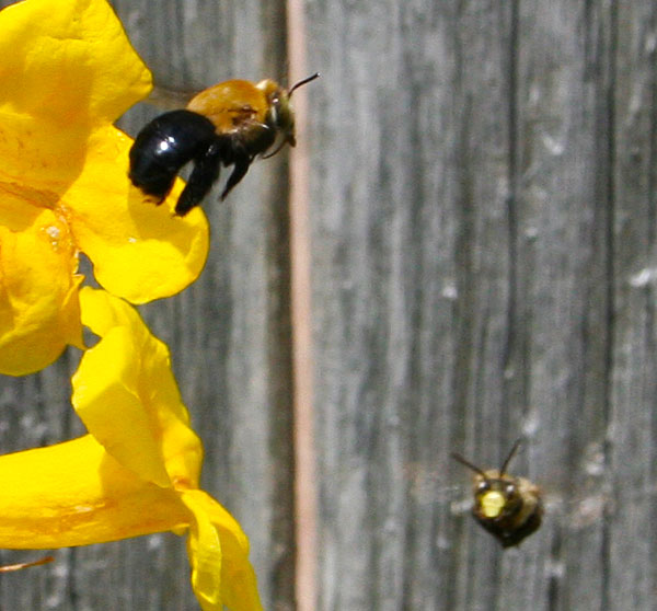 Photo of two bees near yellow flower