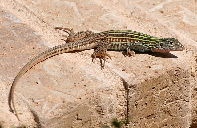 Photo of whiptail lizard