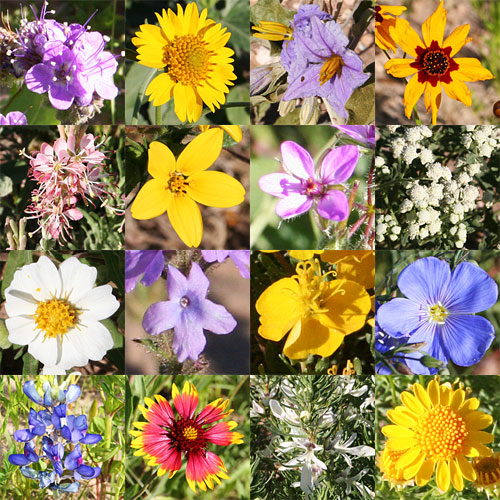 Photo collage - West Texas wildflowers