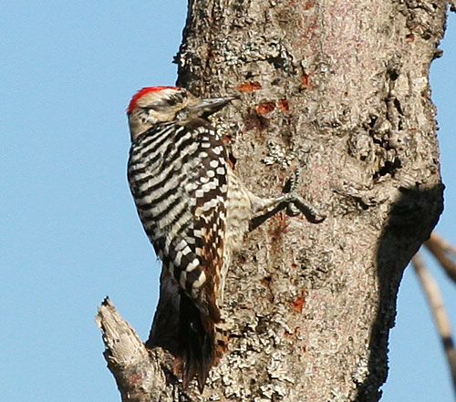 Photo of a ladder-backed woodpecker