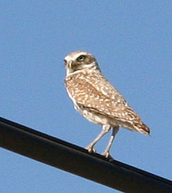 Photo - Burrowing owl on highline
