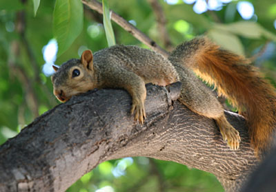 Photo - Squirrel lying on its belly on a tree limb