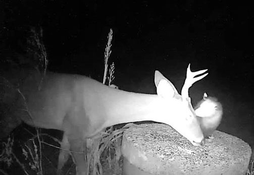 Trail camera photo of a possum eating ticks on a deer's face
