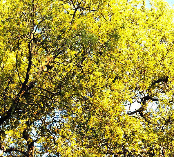 Photo - pollen-filled live oak tree