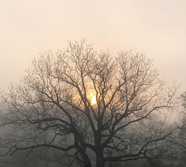 Photo - misty sunrise behind oak tree