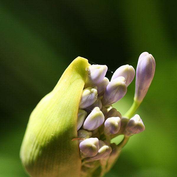 Photo - Agapanthus bloom about to open