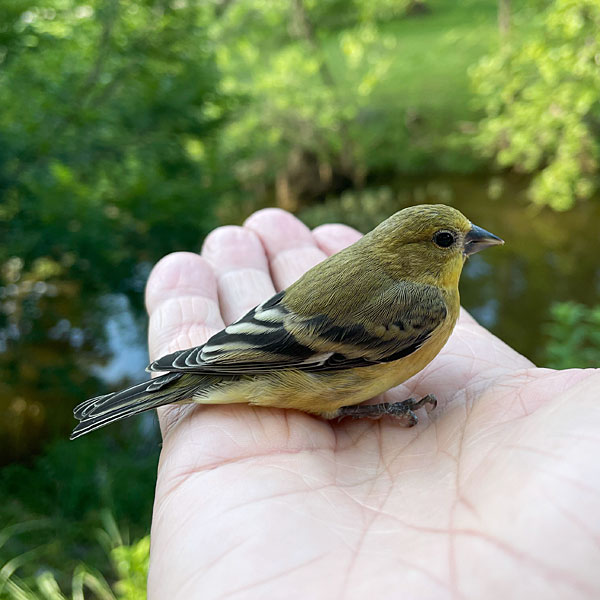 Photo - American goldfinch perched in my palm