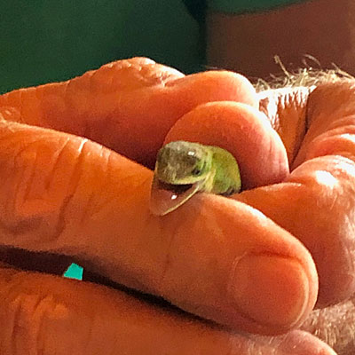 Photo - green anole in my hand
